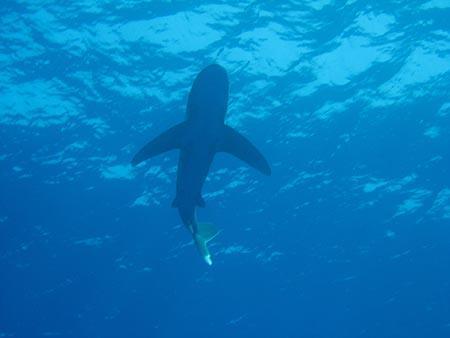 tauchen mit haien
